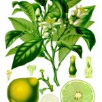 Citrus bergamia - Source Wikipedia