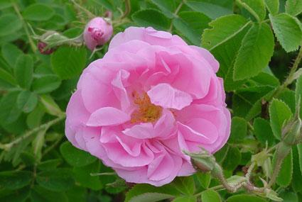 instants mieux-être - Eau florale de rose